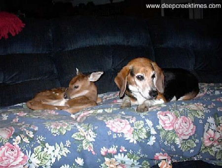 Deep Creek Times Photo of the Month | Doggy Door | Beagle and Fawn 2