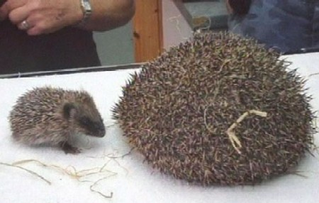 Fat Hedgehog
