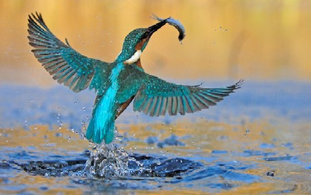 Common Kingfisher | Bird of the Year 2009