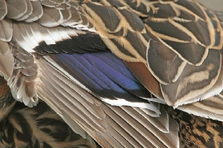 Mallard Duck | Closeup of Feathers