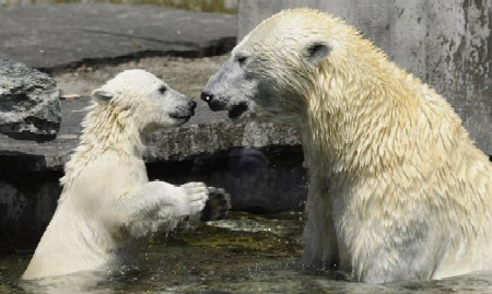 Polar Bear and Cub | Stuttgart Zoo